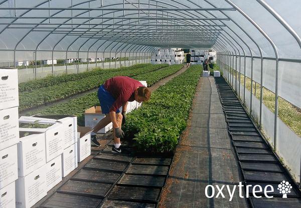 Oxytree nasiona allegro