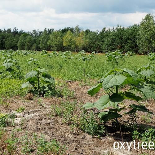 oxytree-plantacja-sliwakow-slaskie