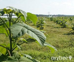 oxytree-plantacja-stoszyce