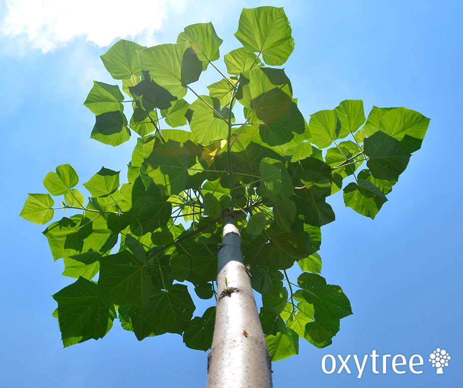 oxytree-drzewo-szybko-rosnace