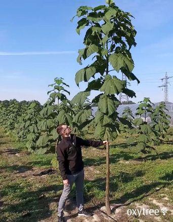 oxytree-drzewo-tlenowe-plantacja