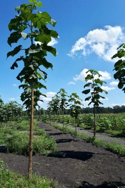 oxytree-trzy-letnie-drzewa
