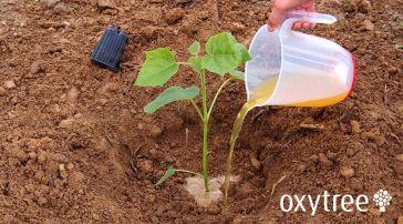 oxytree-nawozenie-sadzonka-plantacja