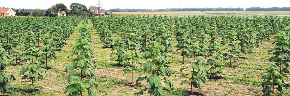 plantacja-oxytree-stoszyce-2018