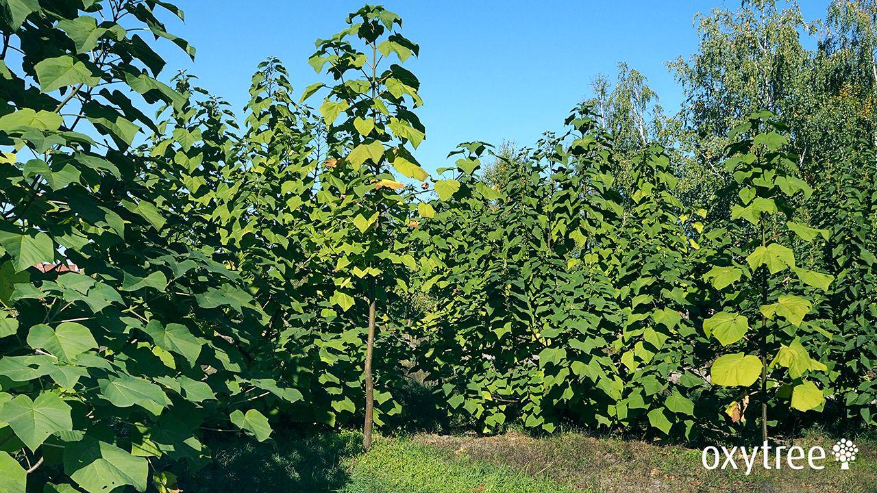 oxytree-drzewo-szybko-rosnace-paulownia-ogrod