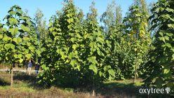oxytree-drzewa-tlenowe-plantacja