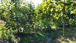 oxytree-drzewo-tlenowe-ogrod
