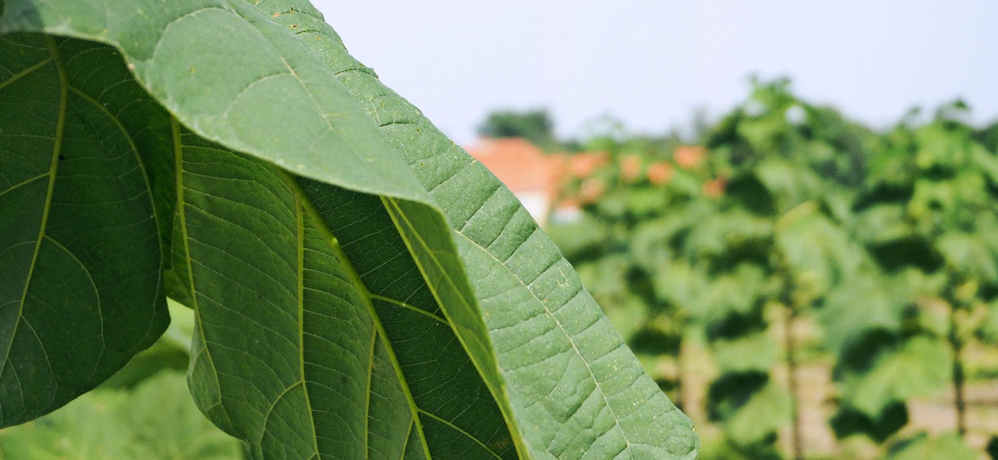 oxytree-lisc-drzew-szybko-rosnacych