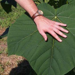 oxytree-lisc-drzewa-paulowni