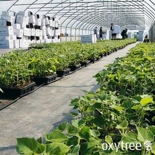 oxytree-drzewa-szybko-rosnace-tlenowe-sadzonki-dostawa
