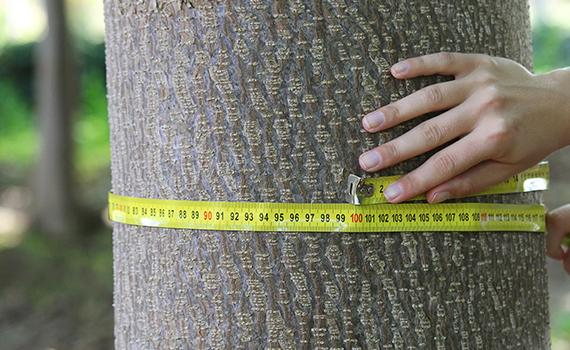 oxytree-drzewo-szybko-rosnace-drewno-pien