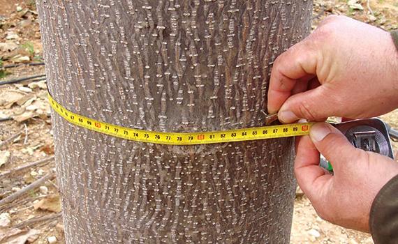 oxytree-drzewo-szybko-rosnace-pien