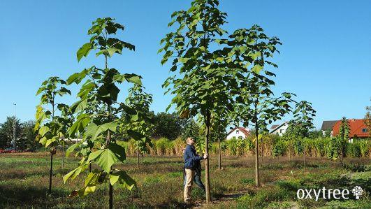 oxytree-drzewo-tlenowe-paulownia