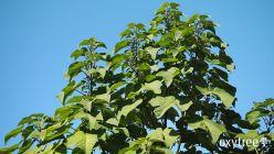 oxytree-drzewo-tlenowe-szybko-rosnace-ogrod
