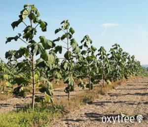 oxytree-plantacja-drzewa-4-metry