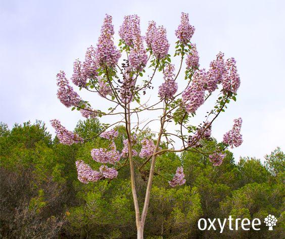 oxytree-drzewo-kwitnace